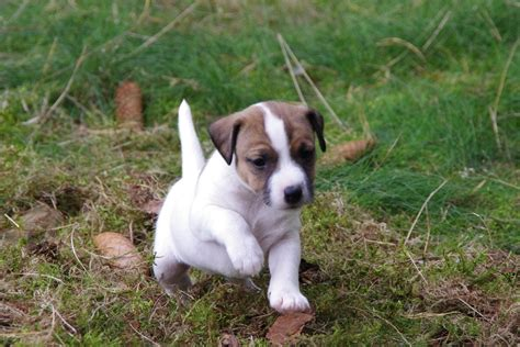 russel terrier puppy parson terrier puppy photo and wallpaper beautiful parson terrier