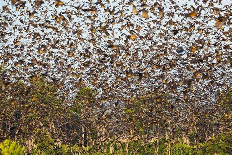 migrating bats cute overload