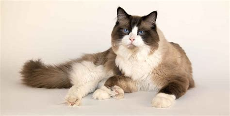 ragdoll cat size the ragdoll cat cat breeds encyclopedia