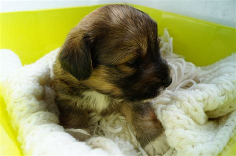 dachshund pomeranian mix puppies for sale adorable dachshund x pomeranian puppies bournemouth dorset pets4homes