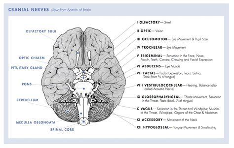 cranial nerves diagram 12 cranial nerves chart 12 pairs of cranial nerves