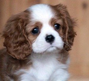 teacup cavalier king charles spaniel puppies for sale teacup king charles cavalier spaniel cavalier king charles spaniels