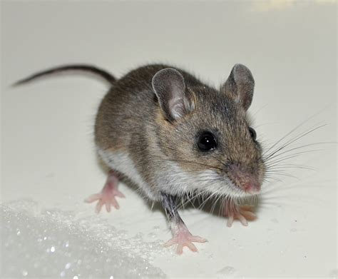 house rat house mouse mus musculus an invasive found all over north america having been