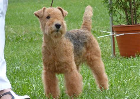 lakeland terrier puppies lakeland terrier breed pictures information temperament characteristics