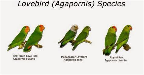 Jual Pakan Burung Import 9 jenis jenis dari lovebird yang umum dan langka ditemukan