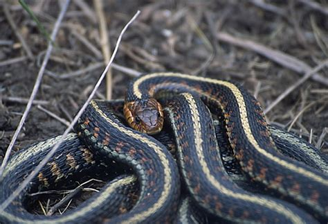 Garter Snake Oregon by Spotted Garter Snake