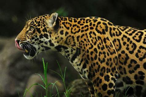 jaguar animal endangered mortal peril endangered species of america