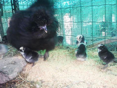 alimentazione naturale galline ovaiole risultato ricerca allevatori galline ornamentali e o