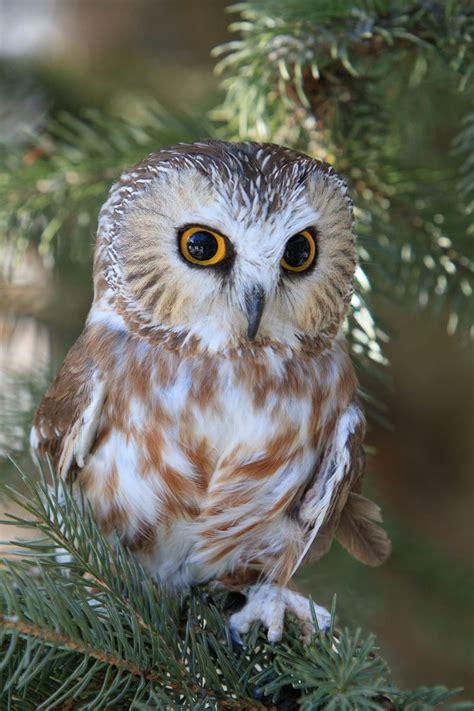 saw whet owl animals pinterest