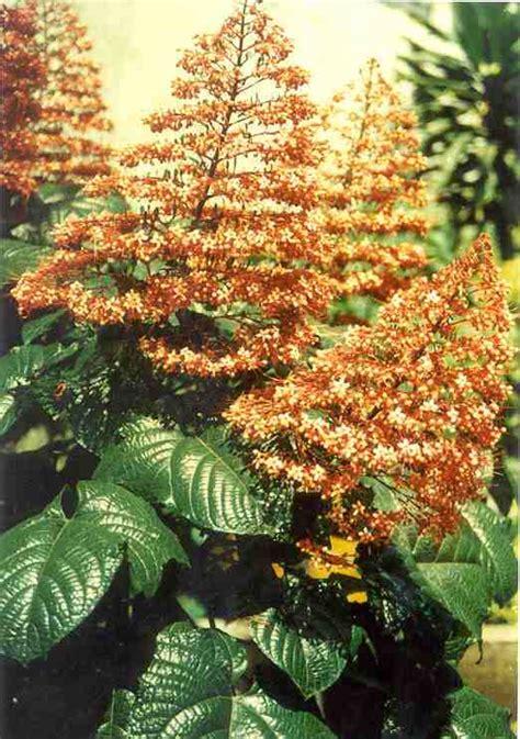 tanaman bunga pagoda  obat alternatif tips petani