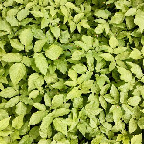eetbaar onkruid in de tuin leer eens een onkruid kennen 4 zevenblad i eco