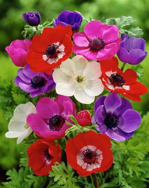Anemone Coronaria by Best 25 Anemone Coronaria Ideas On Rosas