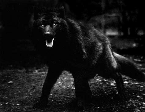 5 11 Black Wolf Black trending