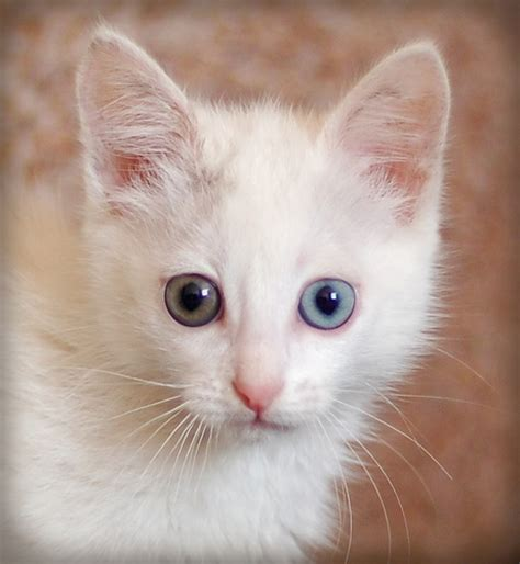 white cat with odd eyes odd eyed cat flickr photo sharing