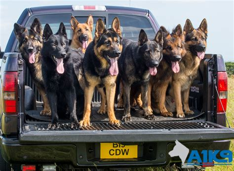 how to security dogs personal protection dogs family protection dogs for sale uk a1k9 family protection