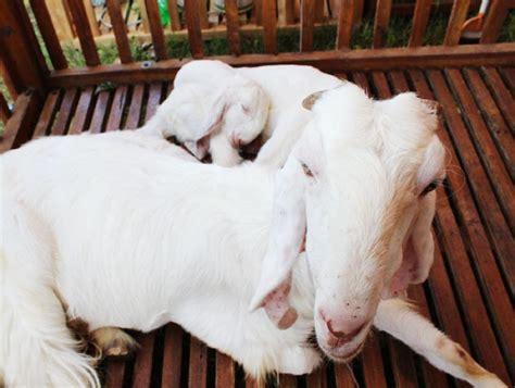 Kambing Etawa Provit Sns21 2 kambing peranakan etawa pe produksi tinggi bebeja