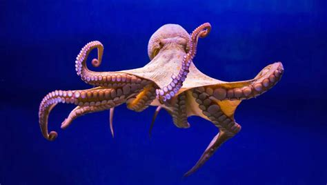 octopus l cephalopods octopuses and cuttlefish for the home aquarium