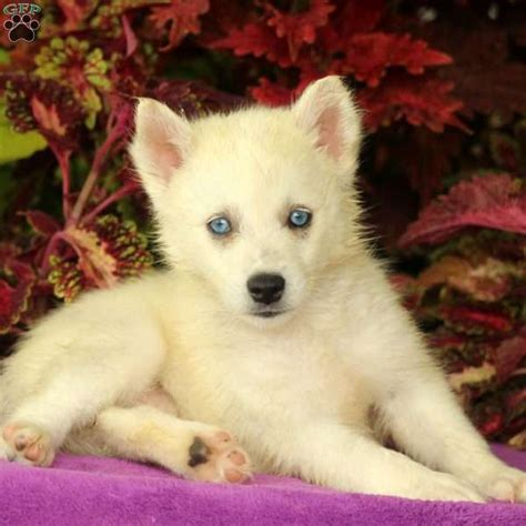 huskimo puppies flower huskimo puppy for sale in pennsylvania