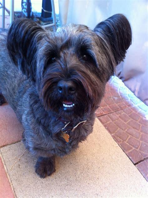 skye terrier summer groom skye terrier short hairstyles 17 best images about skye