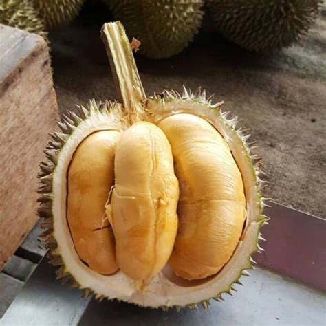 Bibit Durian Bawor Harga daftar harga bibit durian