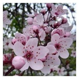 insonnia e fiori di bach cherry plum insonnia paura di perdere il controllo n 176 6