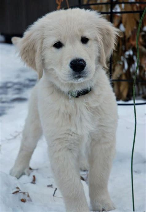 golden retriever names and meanings 25 best ideas about golden retriever names on pupper doggo golden