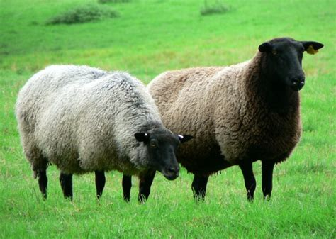 rising sheep raising sheep for wool sheep wool info