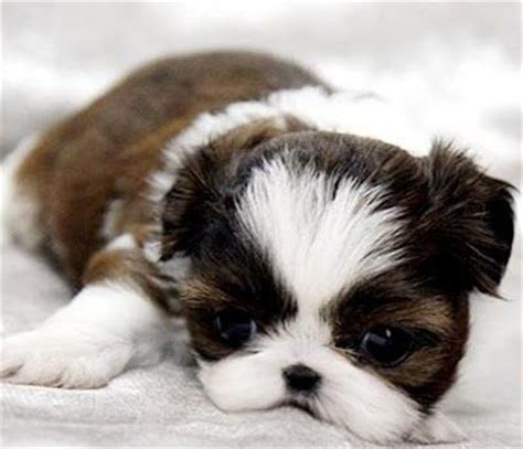 shih tzu inu 1000 images about dogs on puppys shih tzu and shiba inu puppies