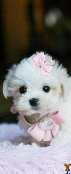 how much are maltese puppies walt disney world on