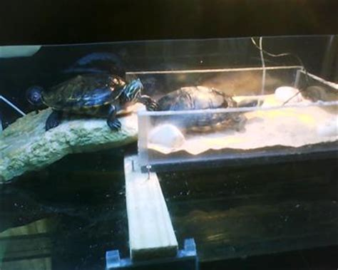 Do Eared Sliders Shed by Skin Shedding