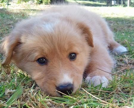 golden retriever and collie mix collie golden retriever mix puppy m s animals puppys