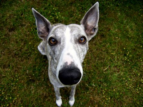 whippet breed whippet looking at you photo and wallpaper beautiful whippet looking at you