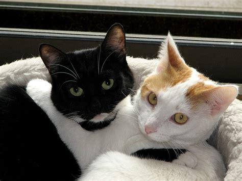 black and white cat file black white cats jpg wikimedia commons