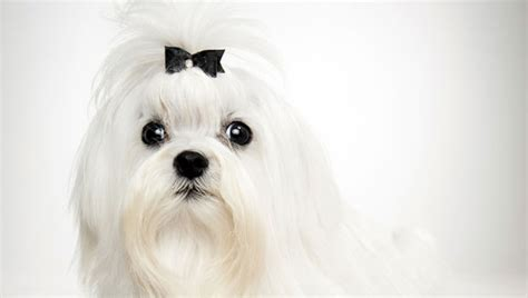 animal planet havanese maltese breed selector animal planet