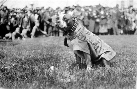 Sgt Stubby Pitbull The Dogs Of War Sergeant Stubby Will My Me