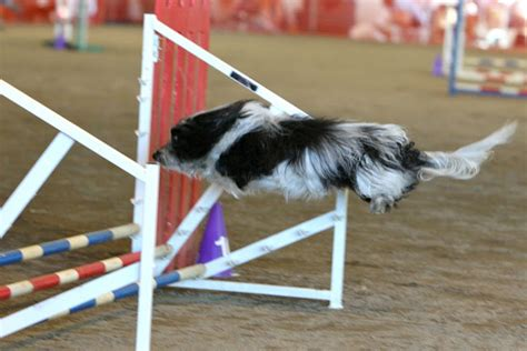 havanese agility to with superdog jumping agility havanese