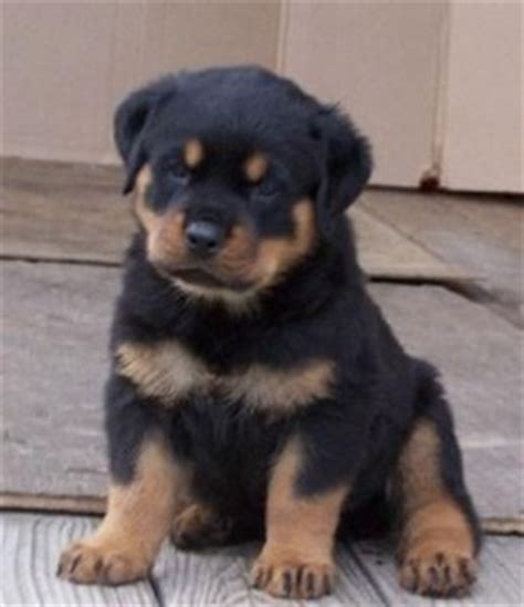 rottweiler breeders in indiana pets crown point in free classified ads