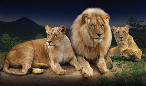 imagenes de tres leones juntos loro parque recibe tres leones de francia y portugal