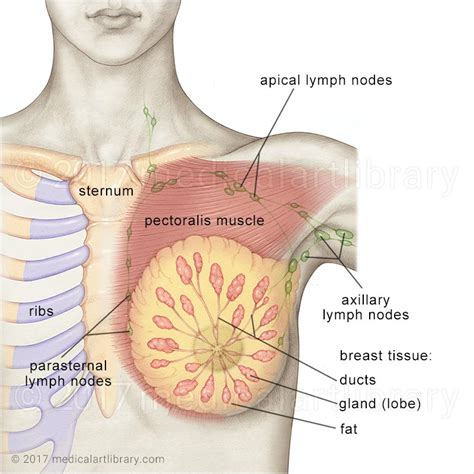 diagram of breast tissue breast anatomy library