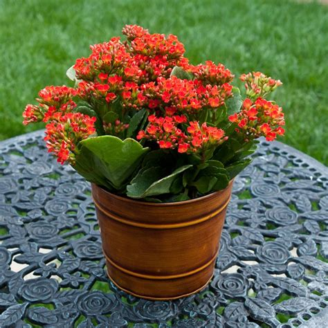 kalanchoe in hand painted tin container indoor office plants by plant type givingplants com