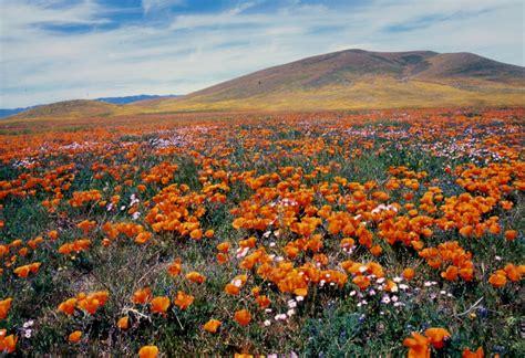 Anza Borrego Desert Flowers antelope valley california poppy reserve destination4x4