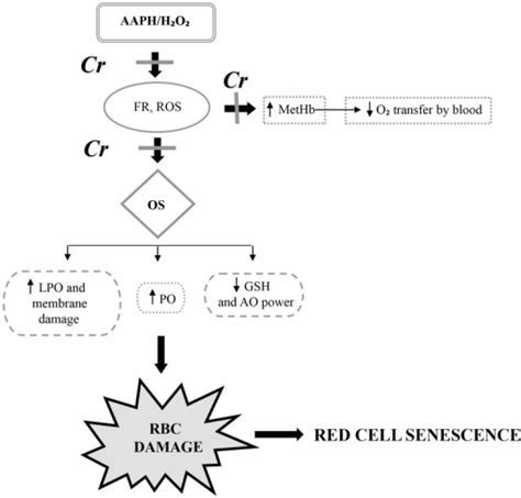 creatine toxicity schematic representation of h2o2 aaph toxicity in human