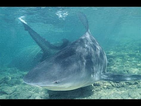 mississippi river sharks the fishing files bull sharks spotted in the mississippi