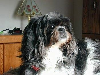 shih tzu information for shih tzu breed information and pictures