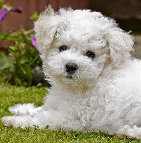 bichon puppies of the jungle bichon frise puppies