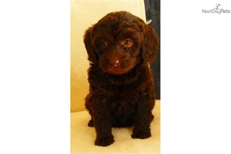 chocolate labradoodle puppies for sale near me chocolate labradoodle labradoodle puppy for sale near reading