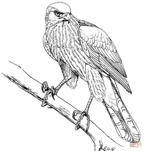 hawk coloring pages cooper s hawk coloring page free printable coloring pages