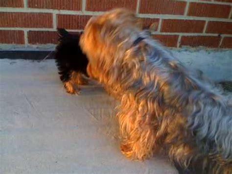 yorkie vs terrier australian silky terrier jugando doovi