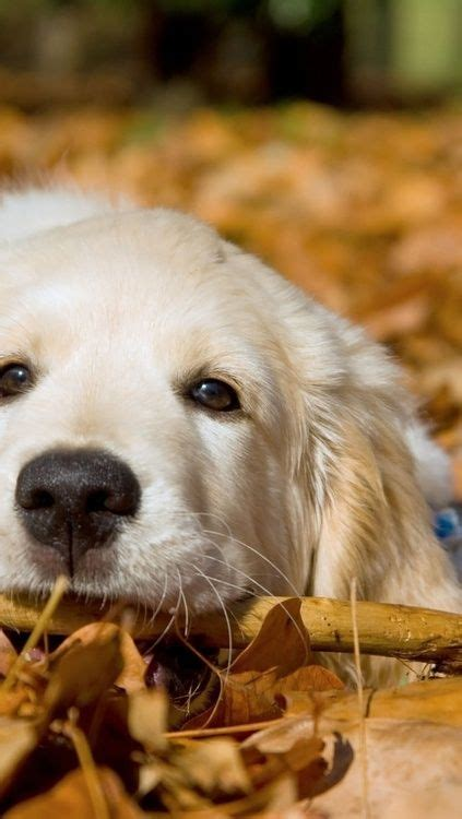 will my golden retriever protect me 17 best images about golden retriever you had me at woof on puppys