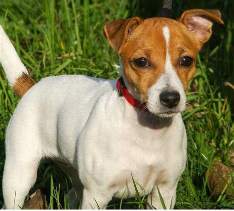imagenes de perros jack rusell todo sobre el jack russell terrier perro shop